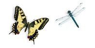 swalowtailanddragonfly